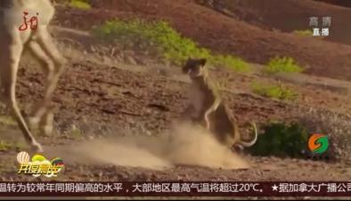 獅子捕食 遭遇抵抗