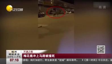 不速之客:梅花鹿衝上馬路被撞死