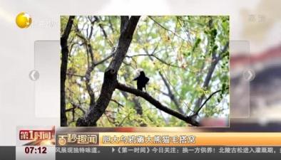 膽大烏鴉薅大熊貓毛搭窩