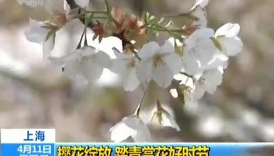 上海:櫻花綻放 踏青賞花好時節