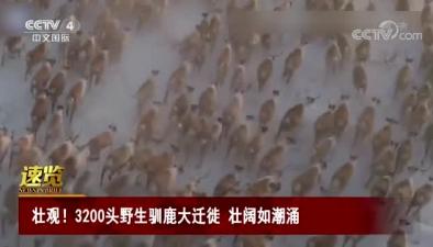 壯觀!3200頭野生馴鹿大遷徙 壯闊如潮涌