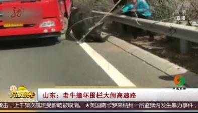 山東:老牛撞壞圍欄大鬧高速路