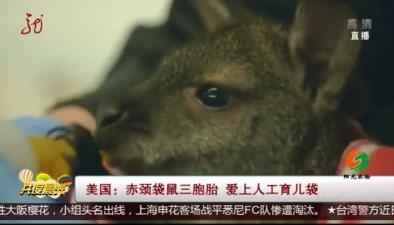 美國:赤頸袋鼠三胞胎 愛上人工育兒袋