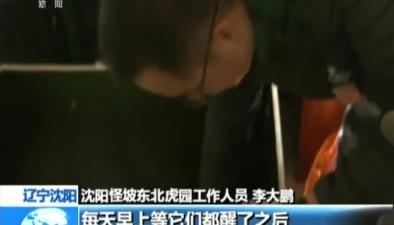遼寧沈陽:9只東北虎寶寶接連出生