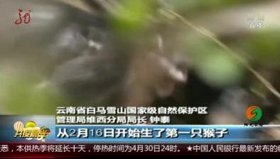 雲南:保護區新添七只滇金絲猴寶寶