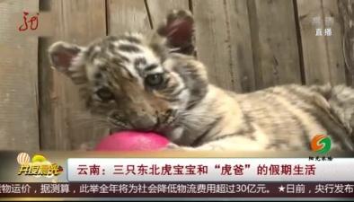 """雲南:三只東北虎寶寶和""""虎爸""""的假期生活"""