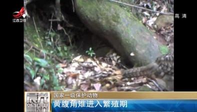 國家一級保護動物:黃腹角雉進入繁殖期