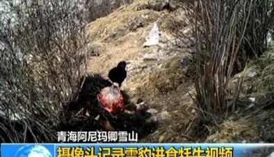 青海阿尼瑪卿雪山:攝像頭記錄雪豹進食牦牛視頻