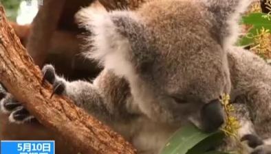 澳大利亞:考拉銳減 澳大利亞斥巨資保護