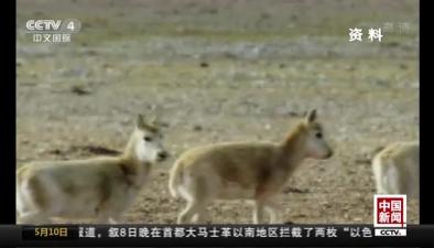 青海:可可西裏迎今年首批藏羚羊遷徙