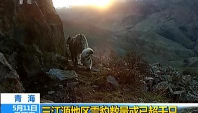 青海:三江源地區雪豹數量或已超千只