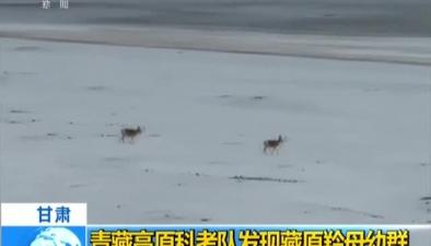甘肅:青藏高原科考隊發現藏原羚母幼群
