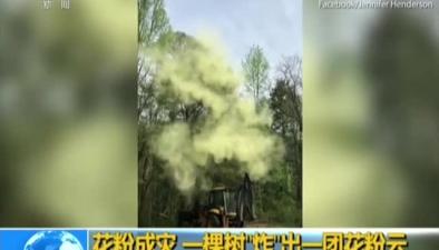 """花粉成災 一棵樹""""炸""""出一團花粉雲"""