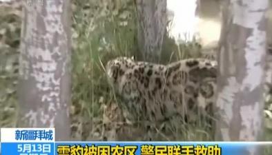 新疆拜城:雪豹被困農區 警民聯手救助