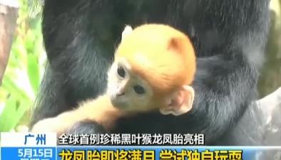 廣州:全球首例珍稀黑葉猴龍鳳胎亮相龍鳳胎即將滿月 嘗試獨自玩耍