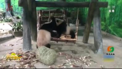 福建:雙胞胎大熊貓萌萌噠亮相