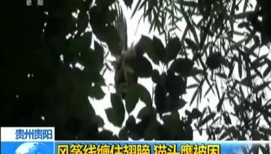 貴州貴陽:風箏線纏住翅膀 貓頭鷹被困