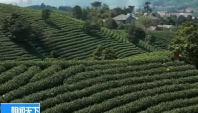 農業農村部:茶産業成為我國重要扶貧産業
