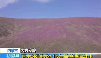 內蒙古:大興安嶺萬畝杜鵑綻放 15年前曾遭遇林火