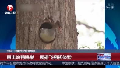 吉林中華秋沙鴨繁殖季:直擊幼鴨跳巢 展翅飛翔初體驗