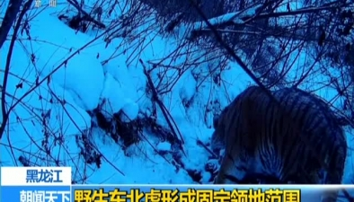 黑龍江:野生東北虎形成固定領地范圍