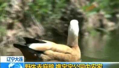 遼寧大連:野生赤麻鴨 攜寶寶公園內安家
