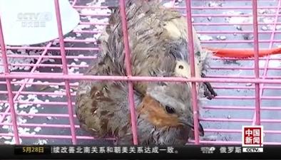 江蘇句容:網絡主播直播獵捕野生動物被抓獲