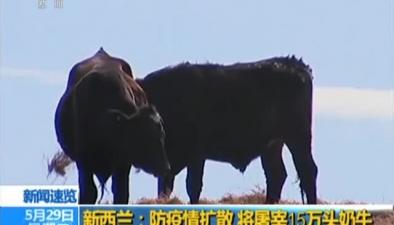 新西蘭:防疫情擴散 將屠宰15萬頭奶牛