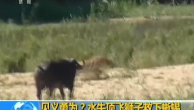 見義勇為?水牛頂飛獅子救下蜥蜴