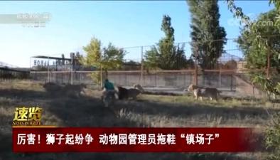 """厲害!獅子起紛爭 動物園管理員拖鞋""""鎮場子"""""""