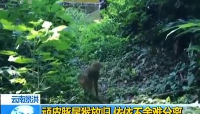 雲南景洪:頑皮豚尾猴放歸 依依不舍難分離