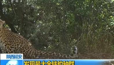陜西延安:發現最大金錢豹種群