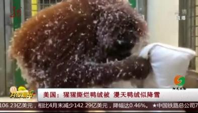 美國:猩猩撕爛鴨絨被 漫天鴨絨似降雪