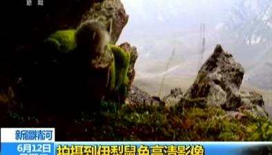 新疆精河:拍攝到伊犁鼠兔高清影像