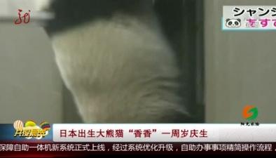 """日本出生大熊貓""""香香""""一周歲慶生"""