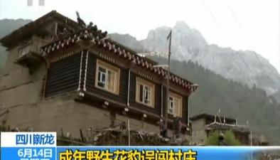四川新龍:成年野生花豹誤闖村莊