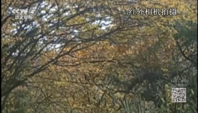 中國發現迄今最大華北豹種群