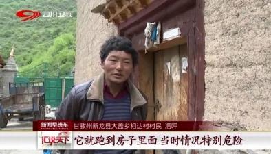 甘孜州新龍縣:村裏來了金錢豹