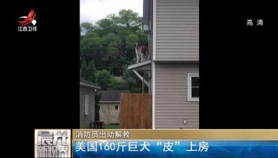 """消防員出動解救:美國160斤巨犬""""皮""""上房"""