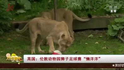 """英國:倫敦動物園獅子足球賽""""懶洋洋"""""""
