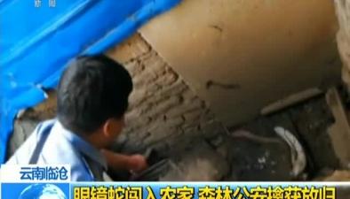 雲南臨滄:眼鏡蛇闖入農家 森林公安擒獲放歸