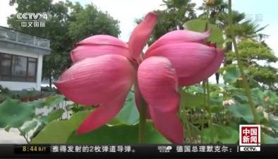 江蘇南京:玄武湖現罕見並蒂蓮