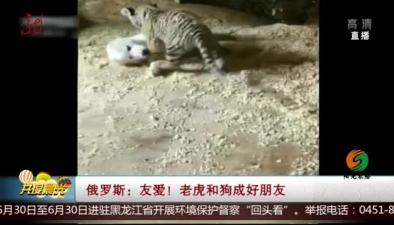俄羅斯:友愛!老虎和狗成好朋友