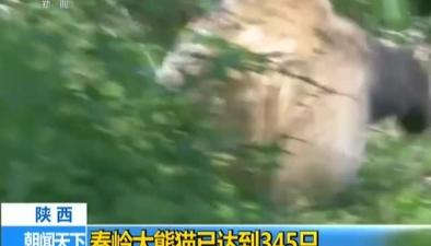 陜西:秦嶺大熊貓已達到345只