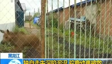 黑龍江:獨自走失深陷泥沼 駝鹿幼崽被救