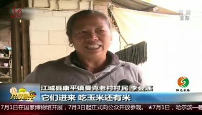 雲南:野象進村入戶 偷食嚇壞村民