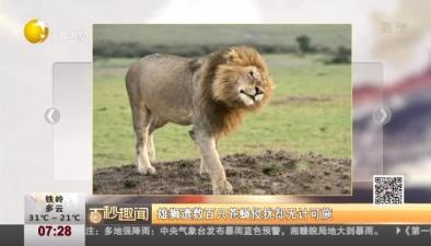 雄獅遭數百只蒼蠅侵擾卻無計可施