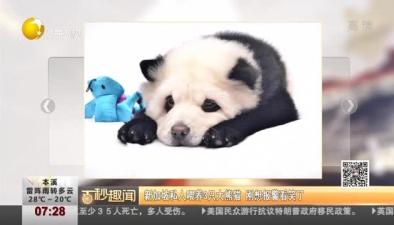 新加坡私人喂養3只大熊貓 剛想報警看笑了