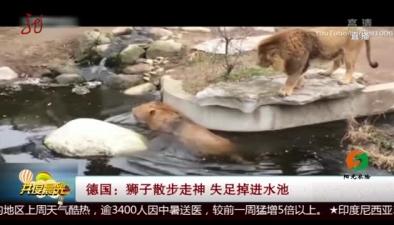 德國:獅子散步走神 失足掉進水池