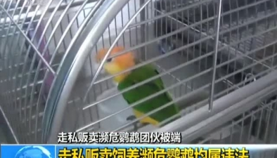 走私販賣瀕危鸚鵡團夥被端:走私販賣飼養瀕危鸚鵡均屬違法